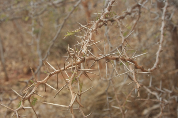 Acacia Thorns.  Keep your arms and legs inside the vehicle at all times.