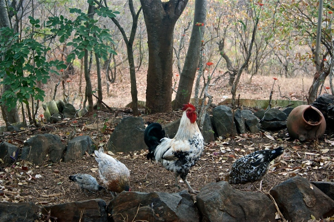 Chickens just roam free here, just like everything else.