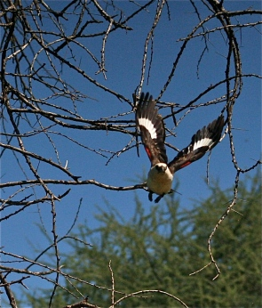 Buffalo Weaver in Flight.JPG