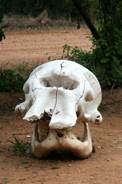 Elephant Skull.jpg