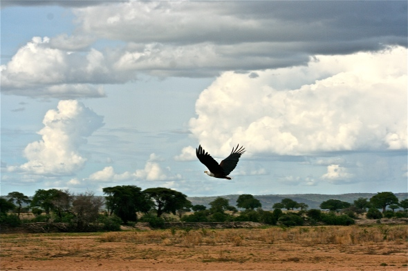 Fish Eagle in Flight.JPG