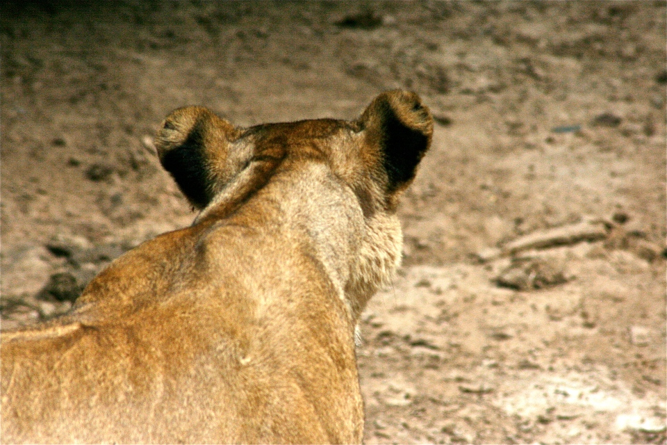 Lioness back of head.JPG