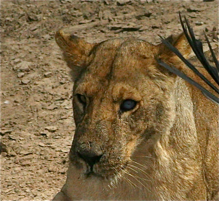 Lioness Blind Eye.JPG