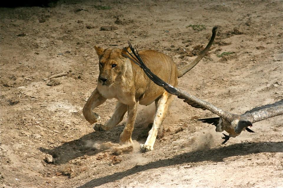 Lioness charging B.JPG