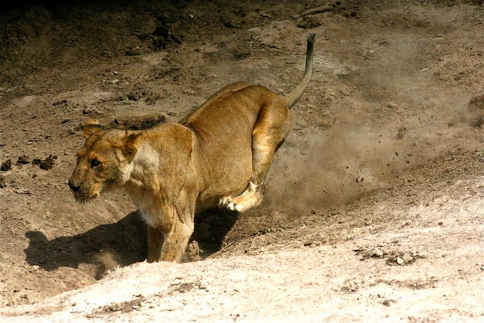 Lioness charging C.JPG