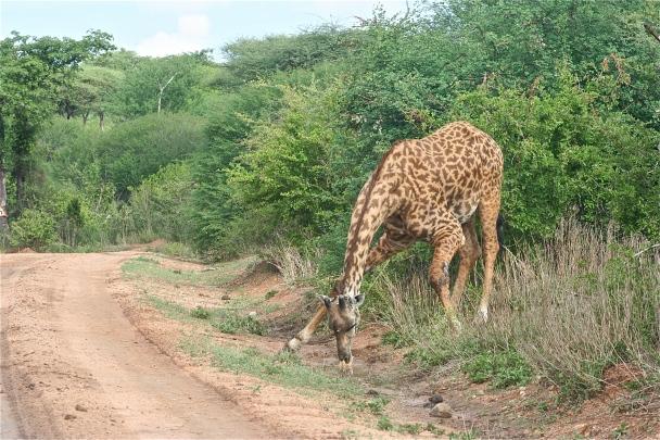 Maasai Giraffe drinking.JPG