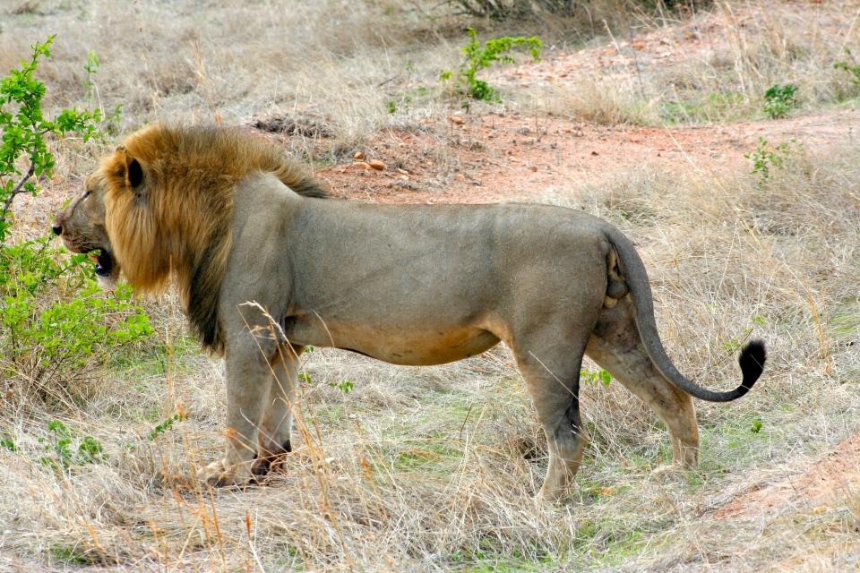 Male Lion A.JPG