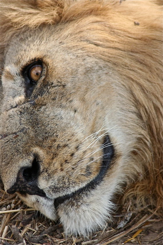 Male Lion Face.jpg
