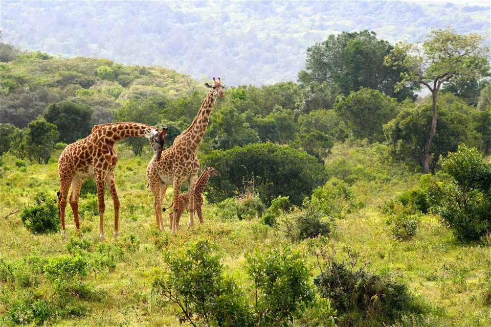 Reticulated Giraffe family.JPG