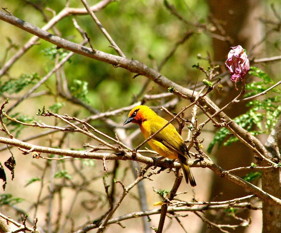 Spectacaled Weaver.JPG