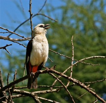 White-Headed Buffalo Weaver.JPG