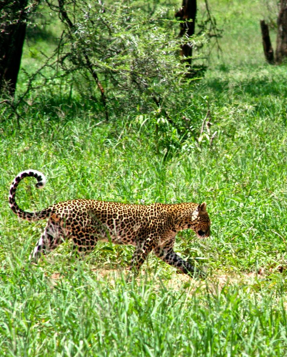 Leopard trotting.JPG